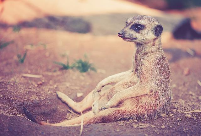 meerkat-459171_640